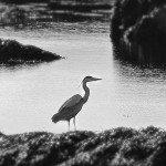 Birdwatching-Looe-4