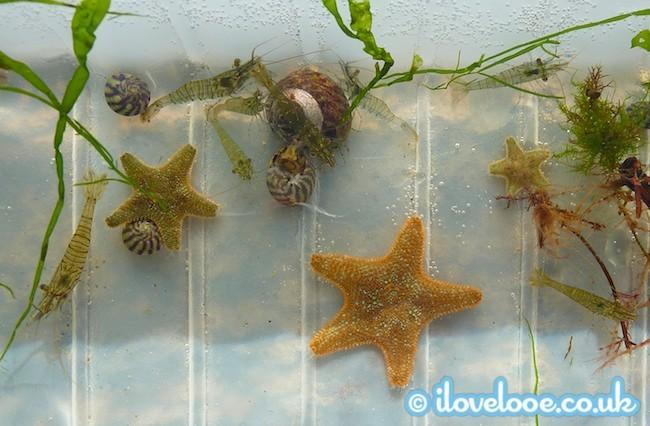 Looe Bioblitz seashore